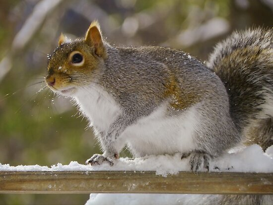 Snow Squirrel by Pamela Phelps