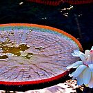Water Lily by eyeland