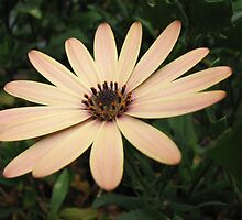 Serene Daisy by kathrynsgallery