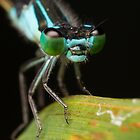 Damsel Fly Portrait by Andrew Durick