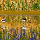 Avocet Family by Paul Gana
