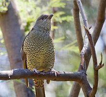 Female Satin Bowerbird by margotk