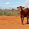 Cattle Station - Lyndon Station, Western Australia. by Fiona Mulholland