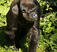 Gorilla by Lee Elvin