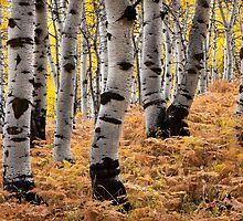 Aspen Curves by David Kocherhans