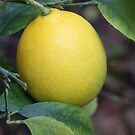 1st Photo of 2013-Lemon by heatherfriedman