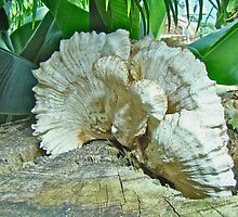 Pleated Fan - Shelf or Bracket Fungus by MotherNature