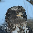 Young Eagle 2 by Mike Shero