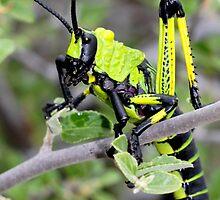 Stinksprinkaan  - Phymateus leprosus - Toxic Milkweed Grasshopper by Rina Greeff
