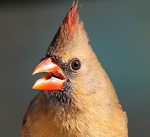 Profile of a female cardinal by jozi1