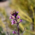 purple desert wildflower,Reno Nevada USA by Anthony &amp; Nancy  Leake