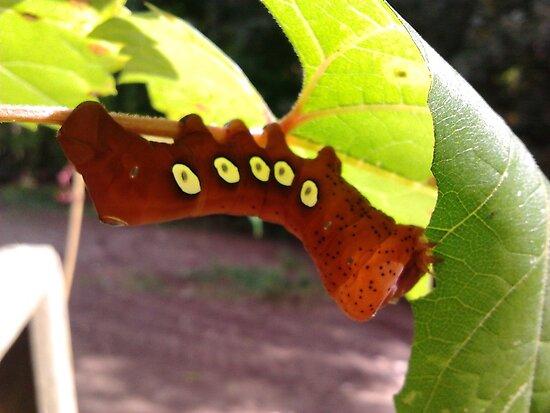 Pandora Sphinx Caterpillar by lblight