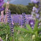 Lupins in Fiordland National Park, New Zealand by elm321
