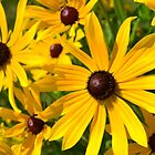 Black-eyed Susans in the Sun by Olivia Johnson