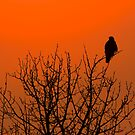 Red Tail Sunset by Andrew Potton