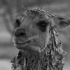Pandora Llama in Black and White by elainejhillson