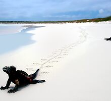 Galapagos Marine Iguana strolls down the beach by kmatm