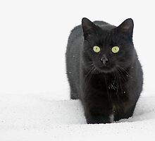 Snow Cat by Melissa Penta