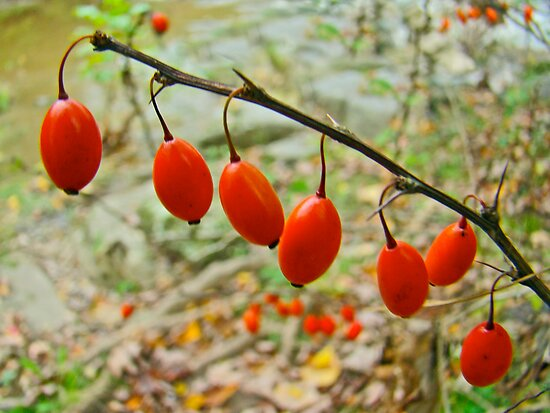Japanese Barberry - Berberis thunbergii  by MotherNature