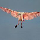 Incoming Spoonbill  by Daniel  Parent