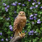 White-eyed Kestrel by SamuraiDbn