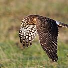 Norther Harrier by Mike  Kinney
