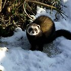 polecat  by jdude