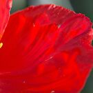Red Poppy #2 by ckphoto
