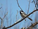 Black-capped Chickadee Against a Blue Sky by Deb Fedeler