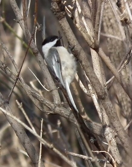 Black-capped Chickadee Out On A Limb by Deb Fedeler