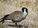 Canada Goose with Curved Neck by Deb Fedeler