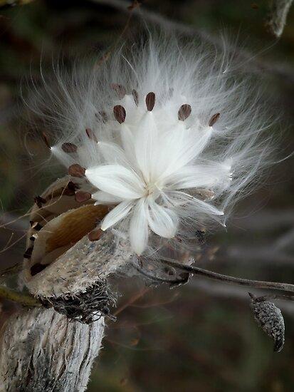 Milkweed Star by Deb Fedeler