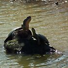 Three Turtles Sunbathing on One Rock by Deb Fedeler