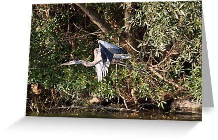 Great Blue Heron Flying by Thomas Murphy