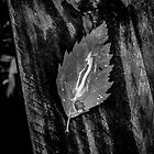 Birch Leaf by Anthony Sarow