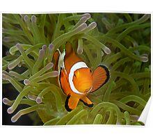 Anemonefish Poster