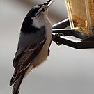 Nuthatch at the bird feeder by Bine