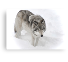 Timber Wolf aka Grey Wolf Canvas Print