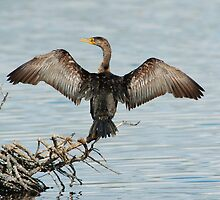 Great Cormorant - MINWR by flbikerchick