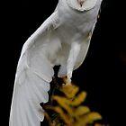 Barn Owl (Tyto alba) by Lisa  Baker-Richardson