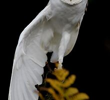 Barn Owl (Tyto alba) by Lisa  Baker-Richardson