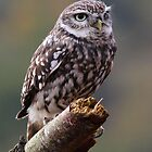 Little Owl (Athene noctua) by Lisa  Baker-Richardson