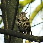 Mistle Thrush sat in tree. by kelly-m-wall
