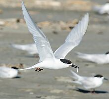 White-fronted Tern with Fish by Barry Culling