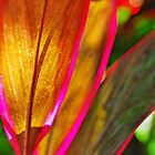 Glowing Ti (Cordyline terminalis) by Paul Laubach