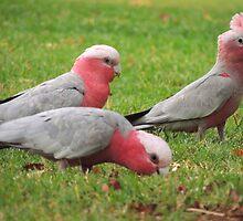 Galahs - Kensington Park, South Australia by Dan & Emma Monceaux
