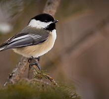 Black-capped Chickadee by Jeff Weymier