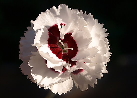 Dianthus of White & Burgundy by Bev Pascoe