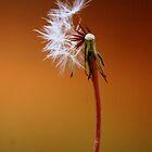 dandelion by lilli robertson