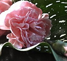 """""""The Sweetest Carnations"""" by Rosehaven"""